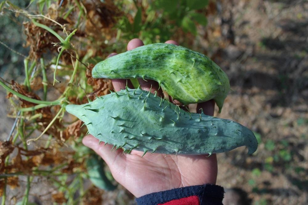 Caigua, the Incan veggie on the comeback trail