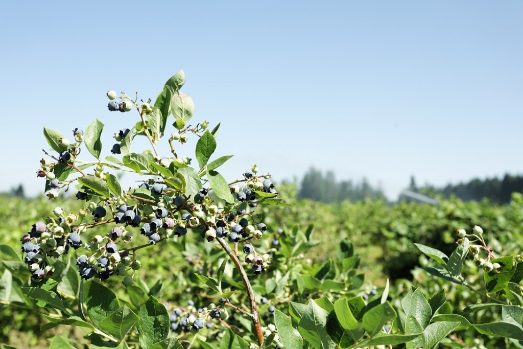 Blueberries in Charts: Finding opportunities in the gaps