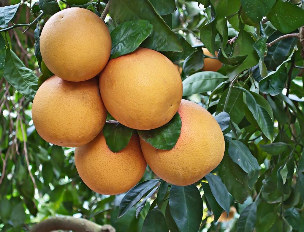 California: Citrus greening found in Riverside County