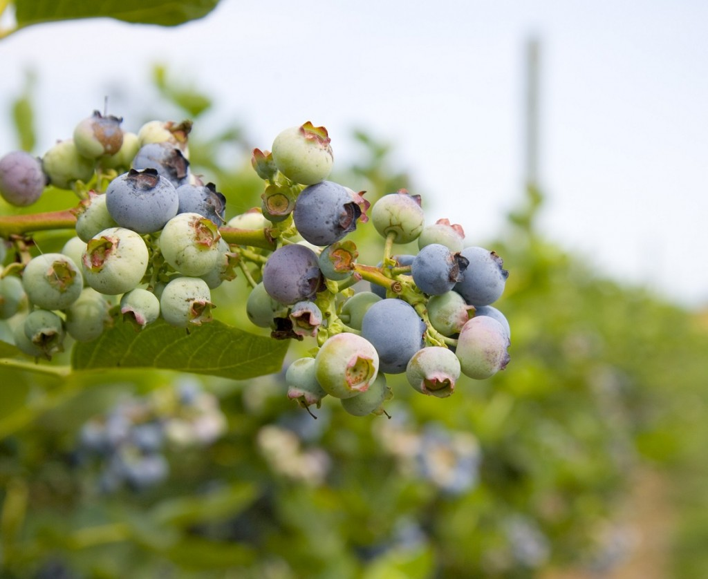 U.S.: Florida blueberry volumes could increase in 2018