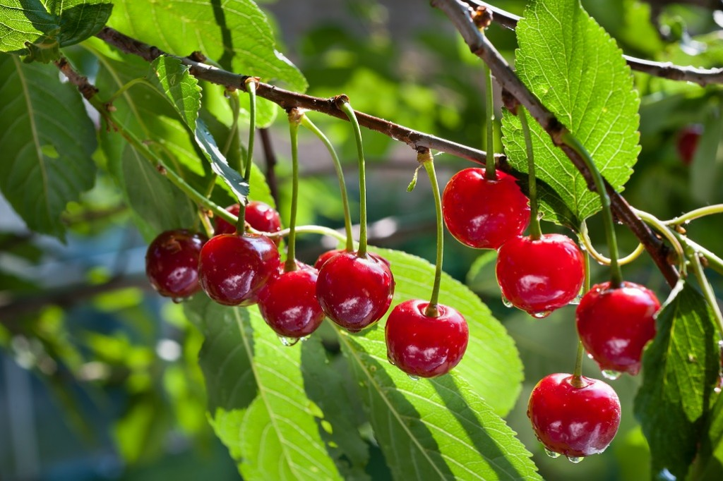 More Aussie growers gear up for China-bound cherry exports with large crop in the wings
