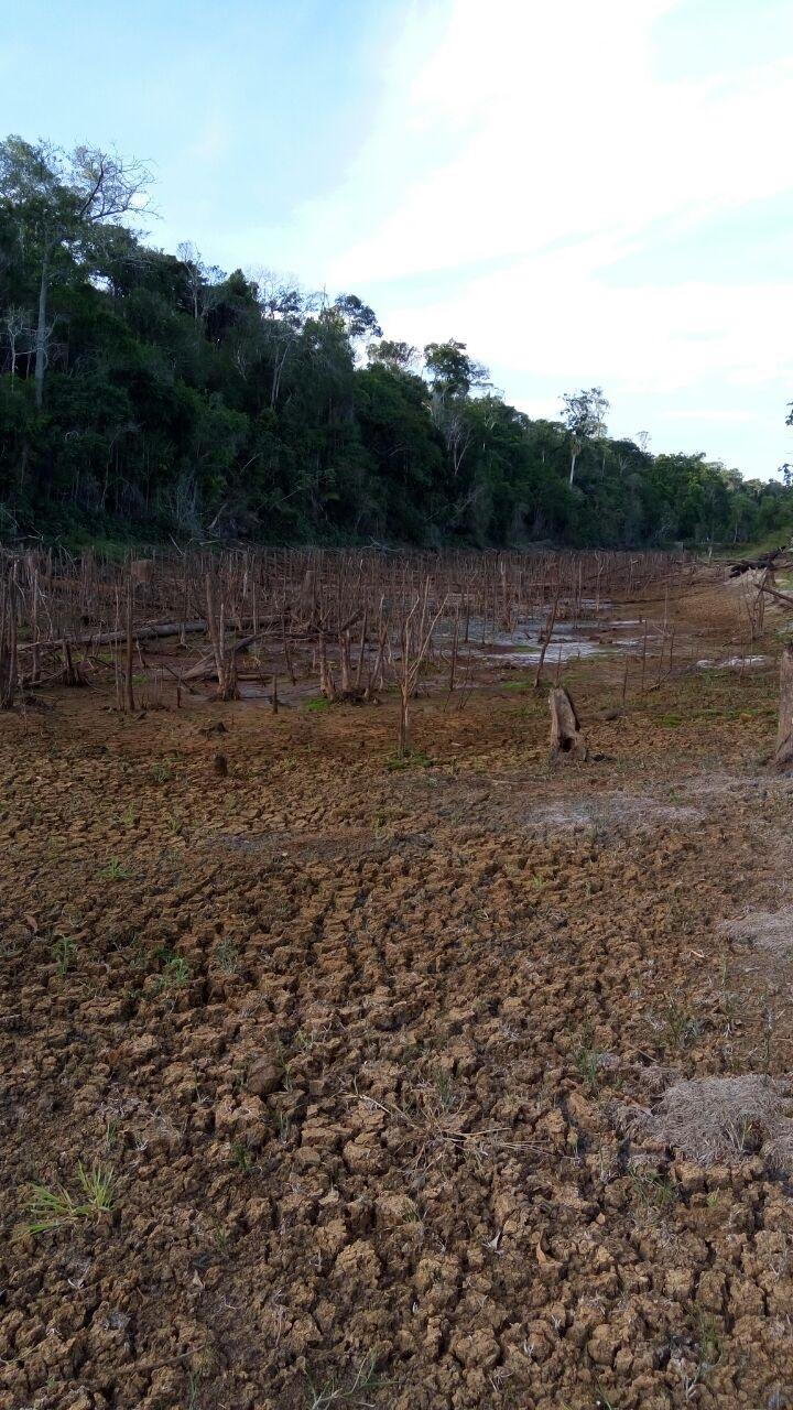 HLB papaya shortage 2