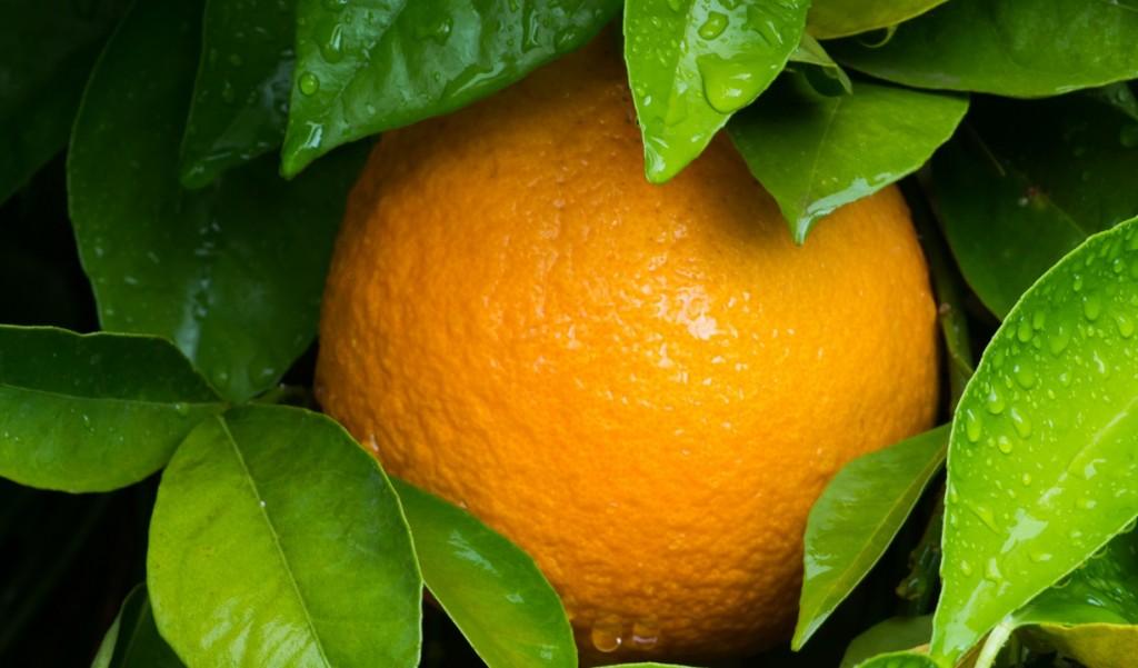 Irma damage threw off USDA citrus crop estimate, claims FCM