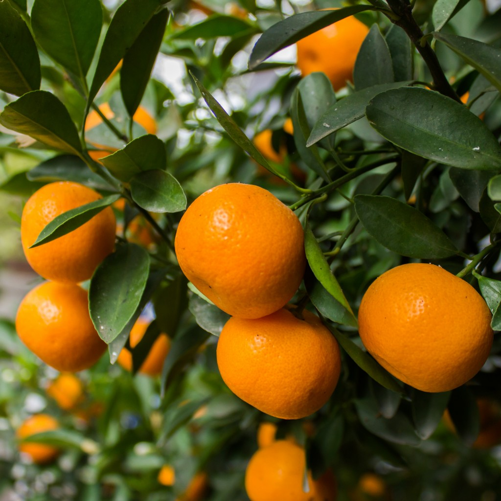 Mandarins from Southern Hemisphere with good outlook in U.S.