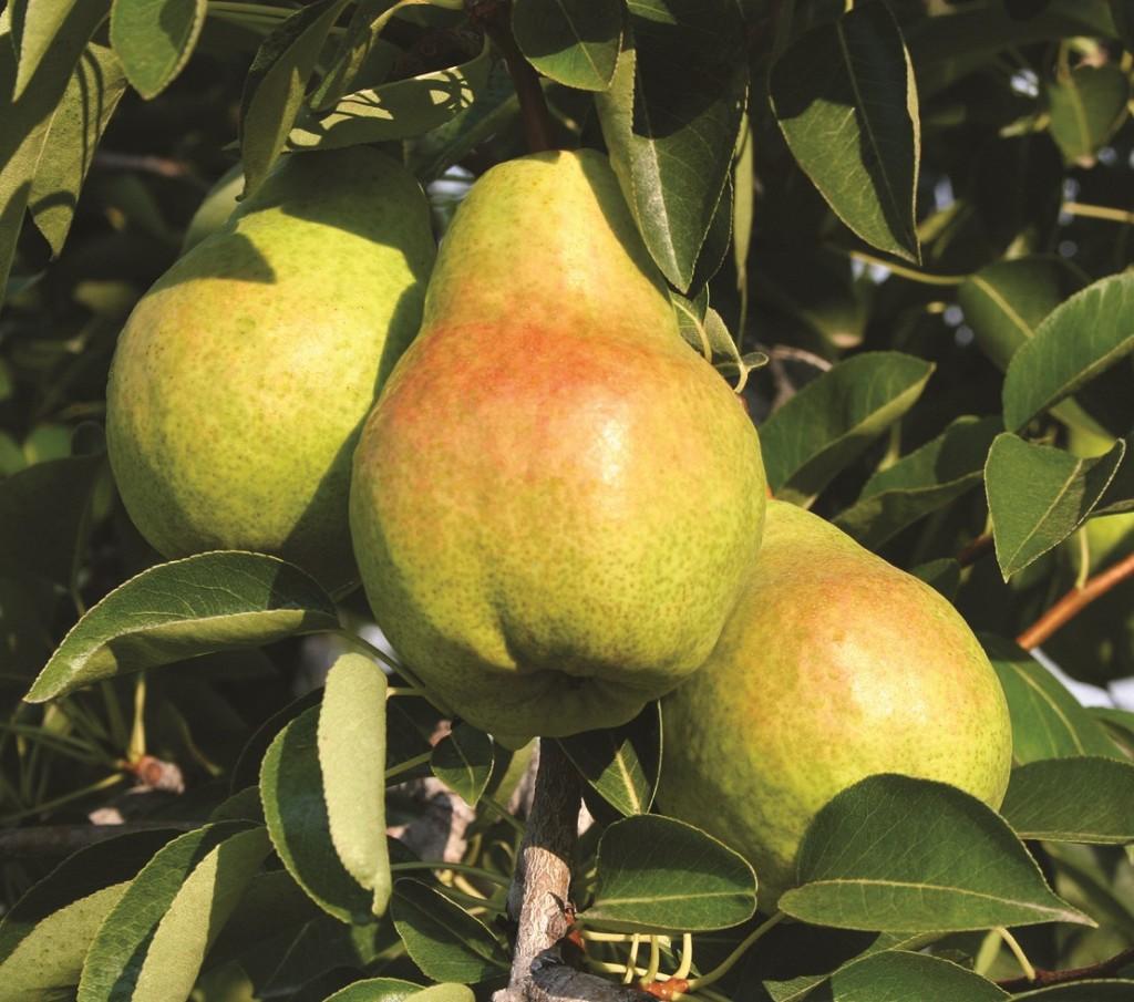 U.S.: Northwest pear crop forecasts rises amid large sizings