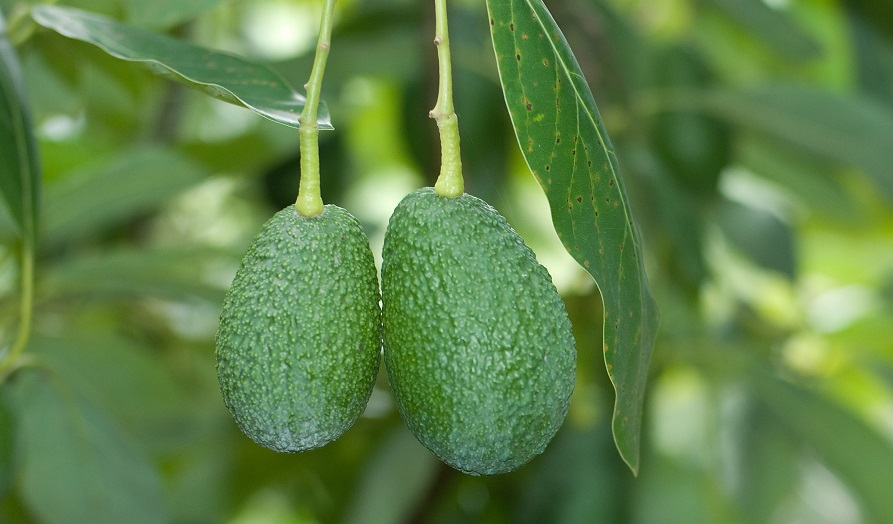 Mexico: Stonefruit, avocado crops hit by frosts in Michoacan