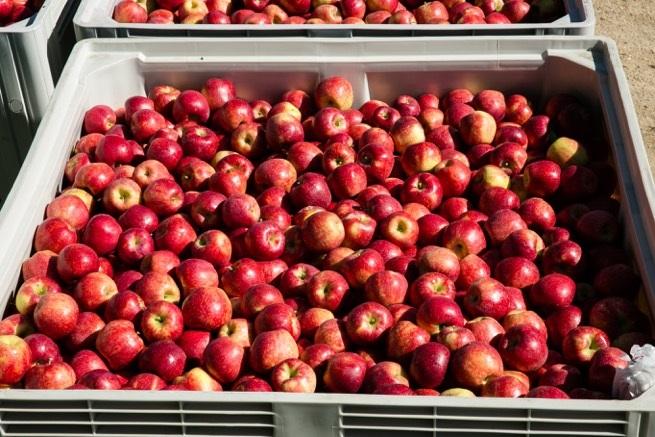 U.S.: Washington's apple crop to rise by 18%