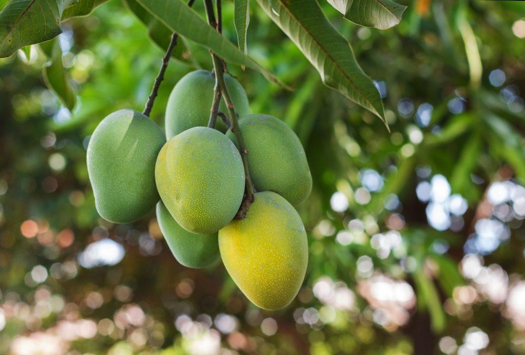 U.S. mango market set to strengthen following quick end to Peruvian deal