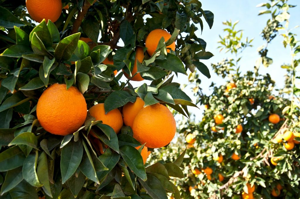 U.S.: California citrus volumes set to wind down earlier than normal