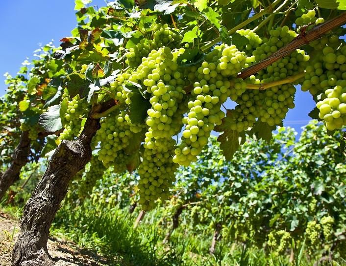 U.S.: California table grape volumes hit the