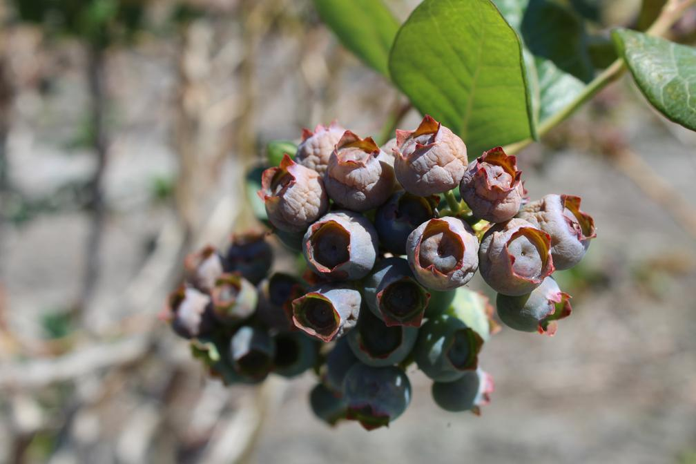 U.S.: Blueberry freeze to spark increased crop protection in Georgia