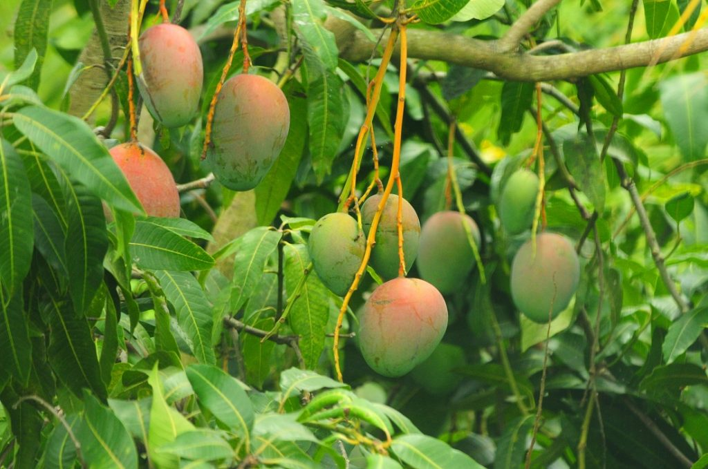 Mexican mango export crop unaffected by cold front, says NMB