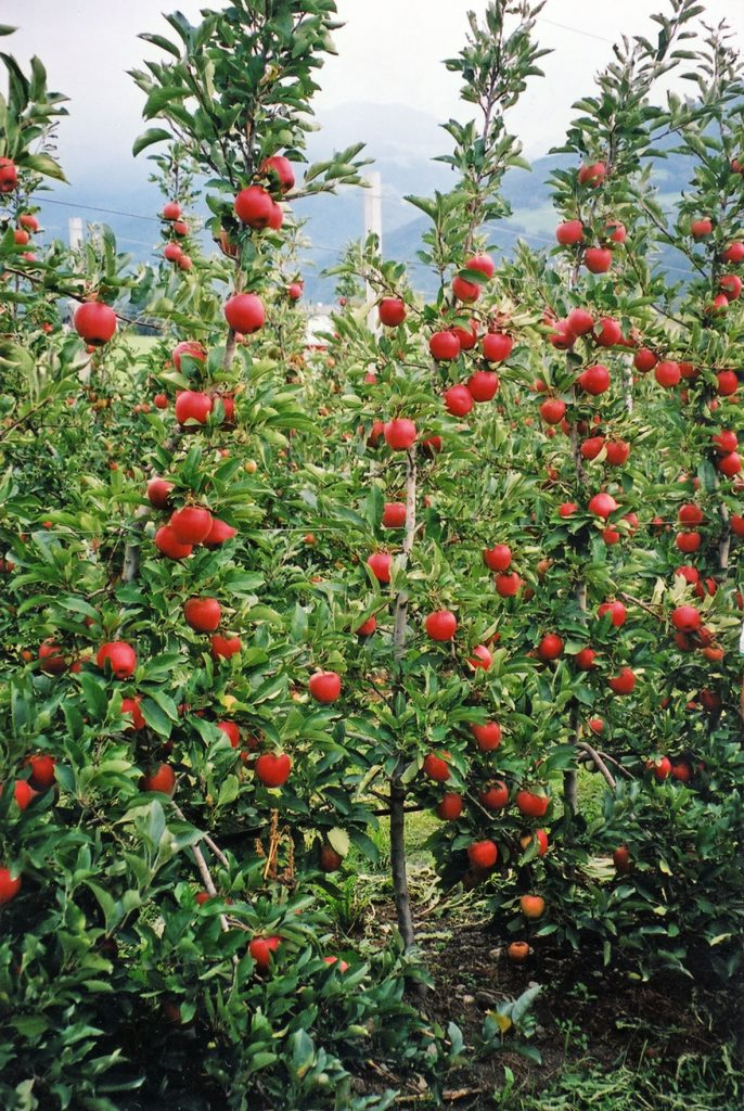 Russia market in sight for Rubens apple with Serbian grower on board