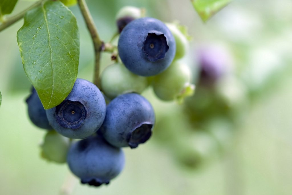 Two leading blueberry companies merge