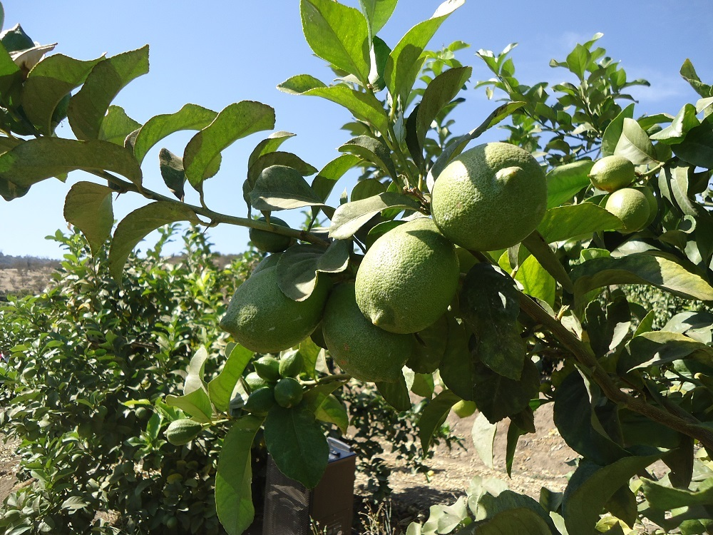 Early Chilean lemon variety squeezes out more fruit per tree