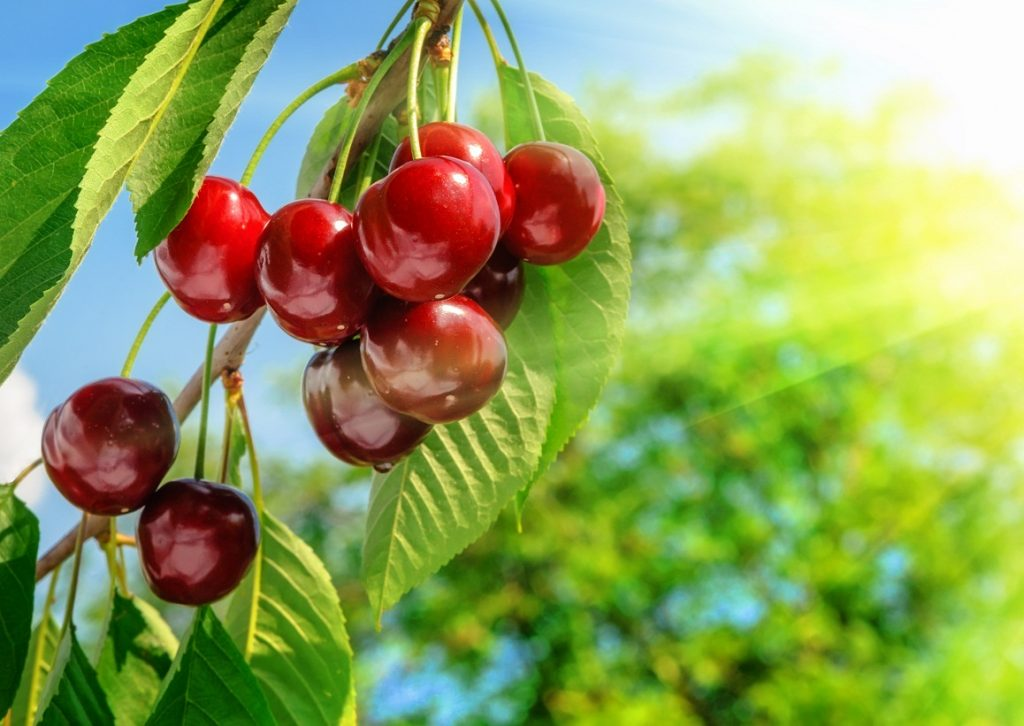 U.S.: Californian cherry industry feeling rosy for 2017 deal