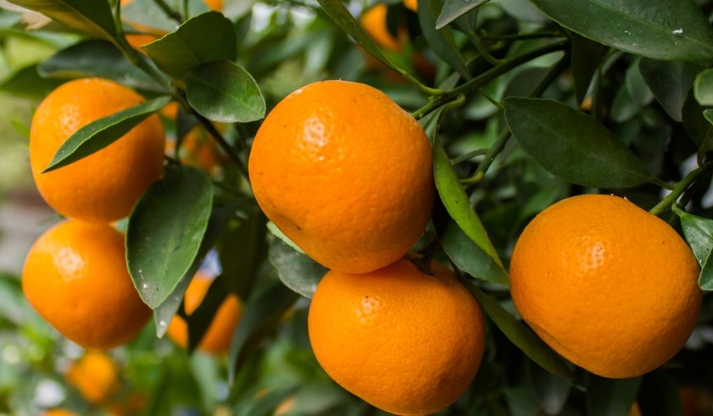 Chilean fields to yield more mandarins in 2017