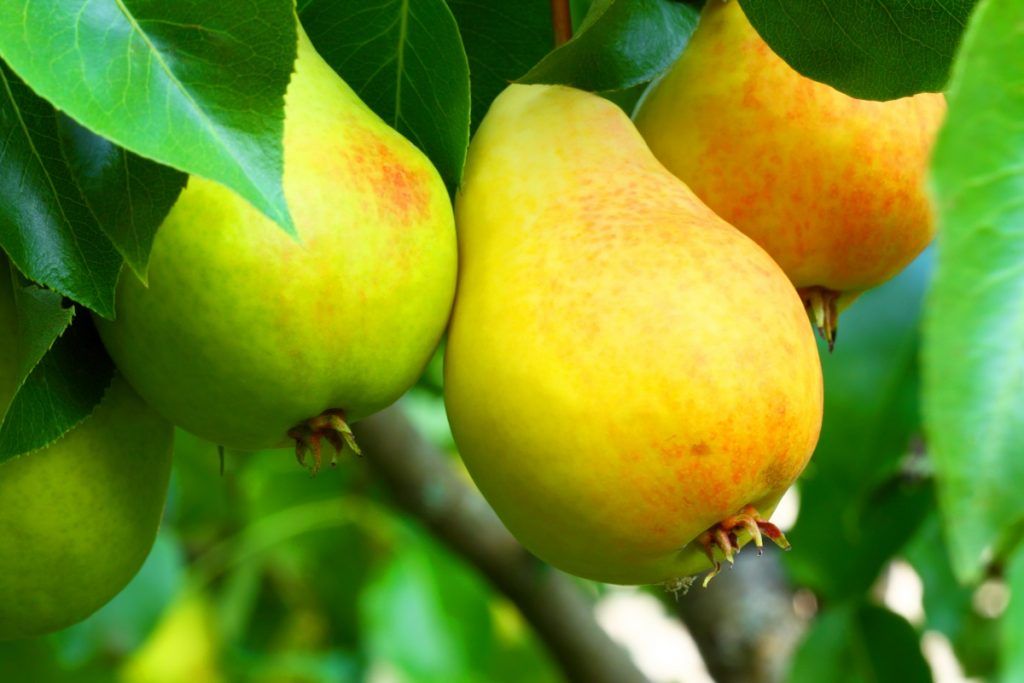 Pears in Charts: USA Pears CEO on two interesting factors this season