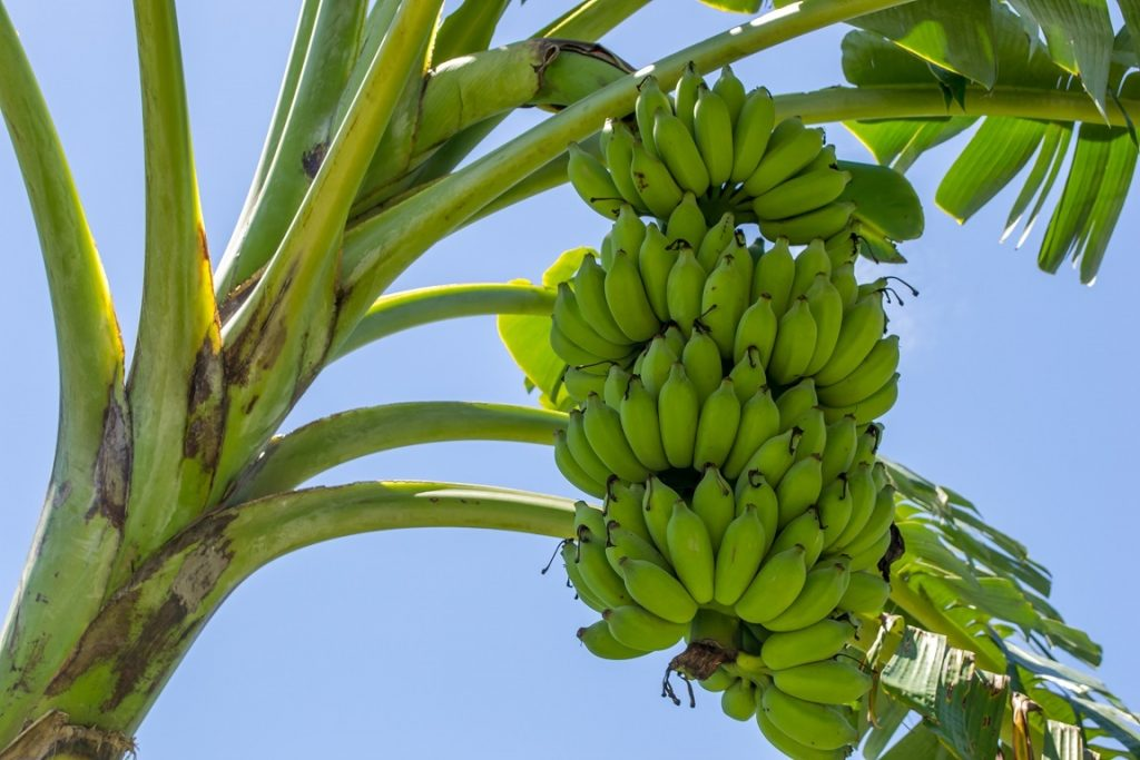 First bananas grown without soil to be harvested