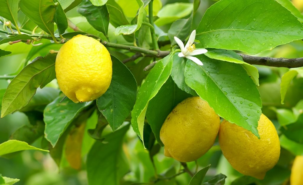 Agronometrics in Charts: U.S. summer lemon prices the highest in years