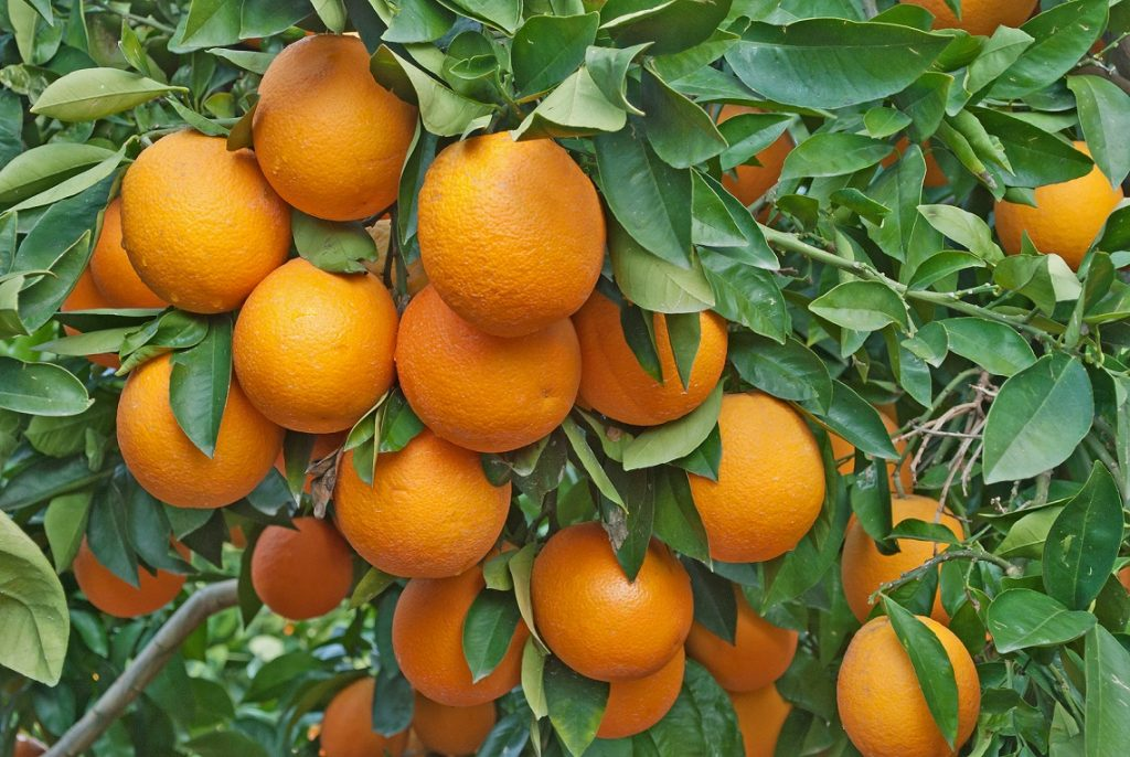 U.S.: California approves additional funds to fight HLB spread