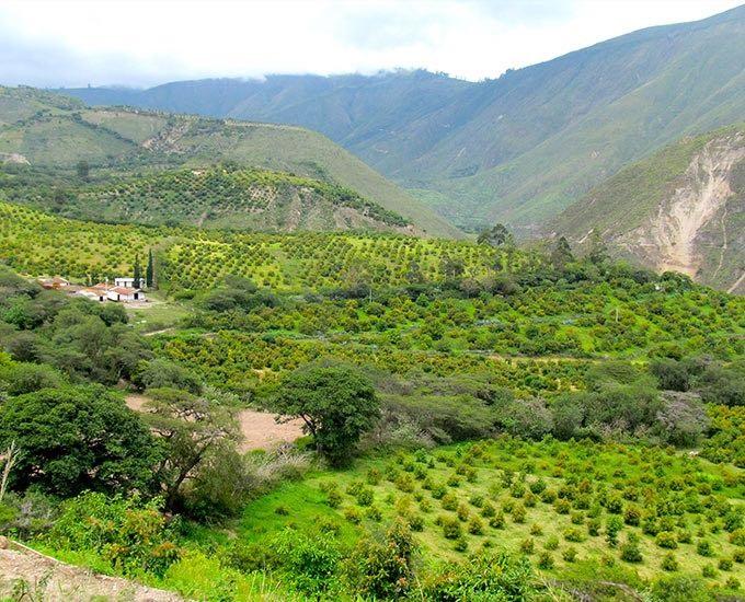Ecuador next in line for Hass avocado boom