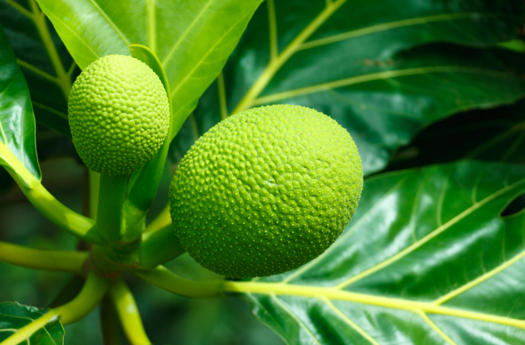 Opinion: The huge economic potential of breadfruit - Pt. 4