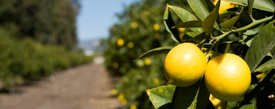 Limoneira cut Q1 losses and achieved record lemon revenue