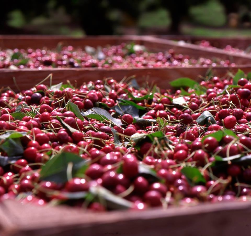 Chilean cherry industry set for small increase in 2021-22 - USDA