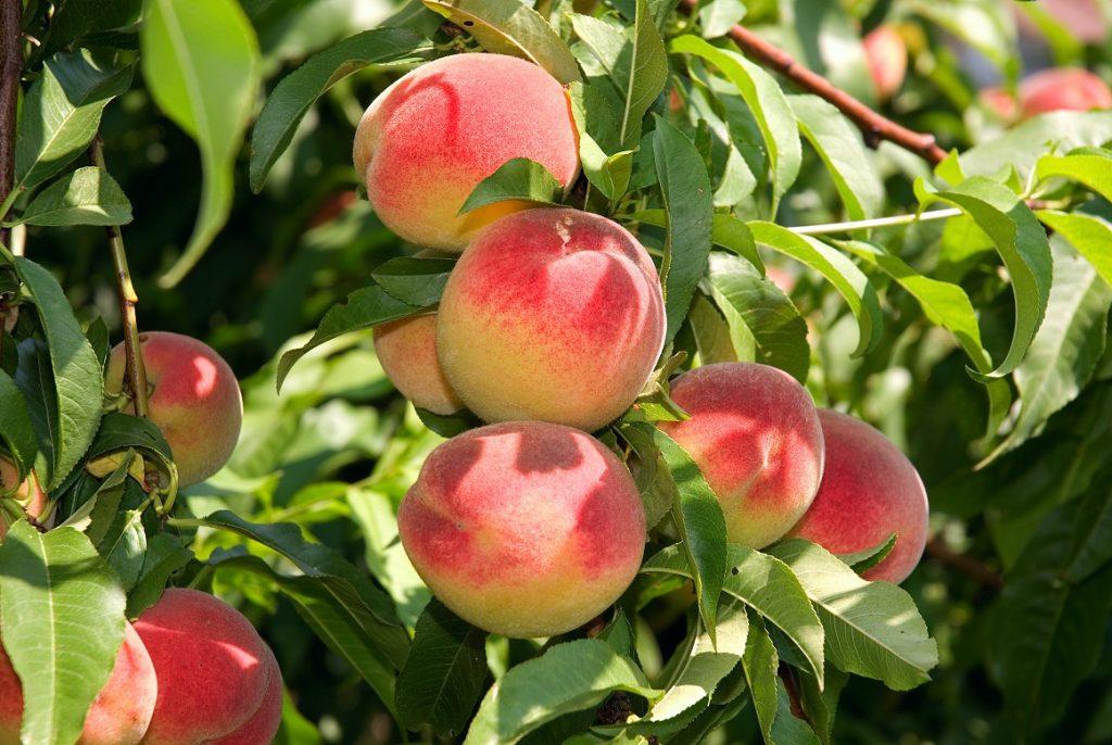 U.S.: Georgia peach crop 'the shortest in 35 years'