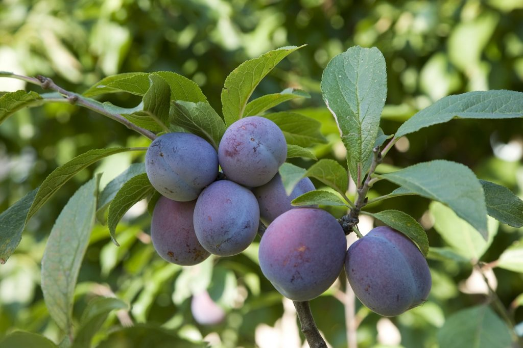 Sturdy U.S. plum market amid lower California supply