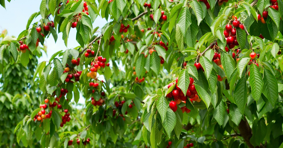 U.S.: Northwest cherry growers set for smaller and more spread out crop
