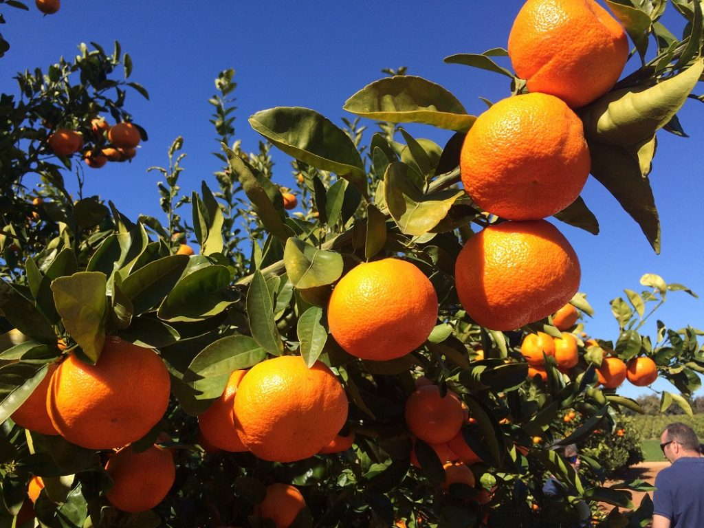 Are Tango mandarins 'bee-friendly'? Not according to a South African regulator
