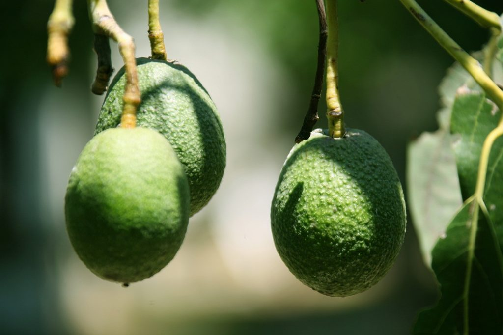 Agronometrics in Charts: How much more volume can the U.S. avocado market absorb?