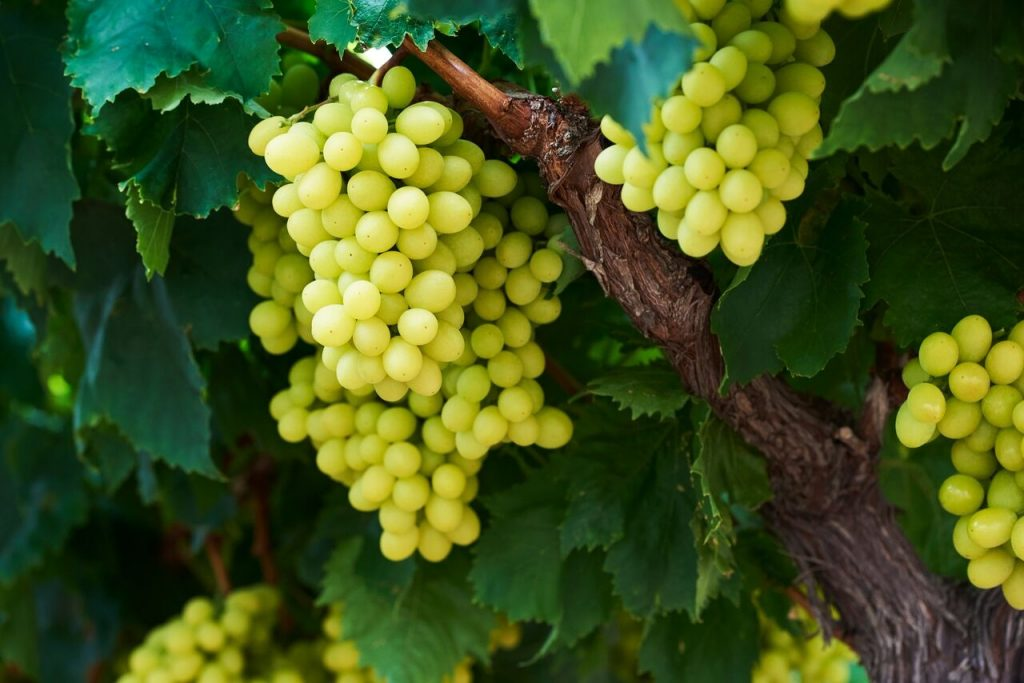 Grapes in Charts: California sees low prices after Mexican supply surge