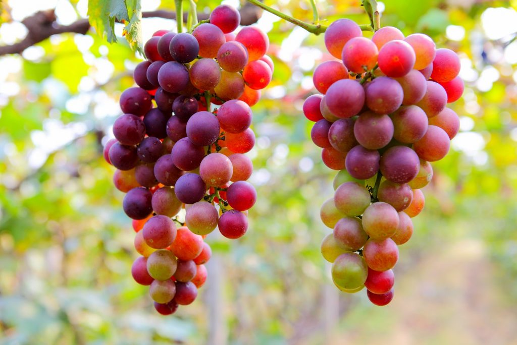 South African table grape exports stay low into January