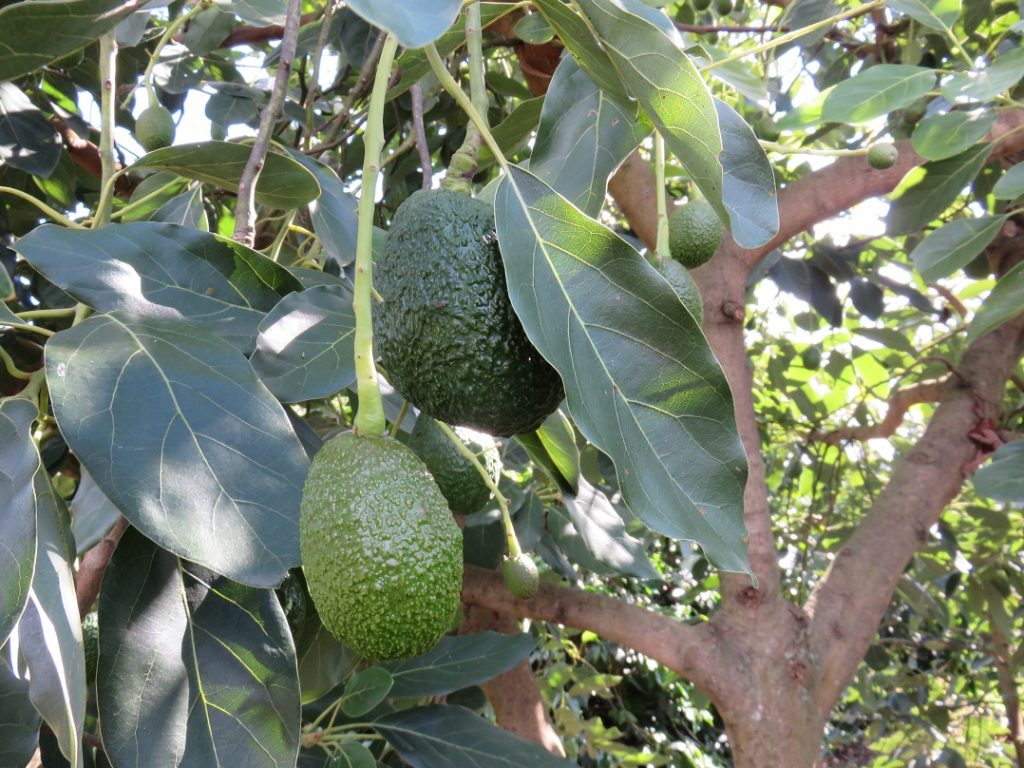 Colombian Hass avocado exports to the U.S. will continue, authorities claim