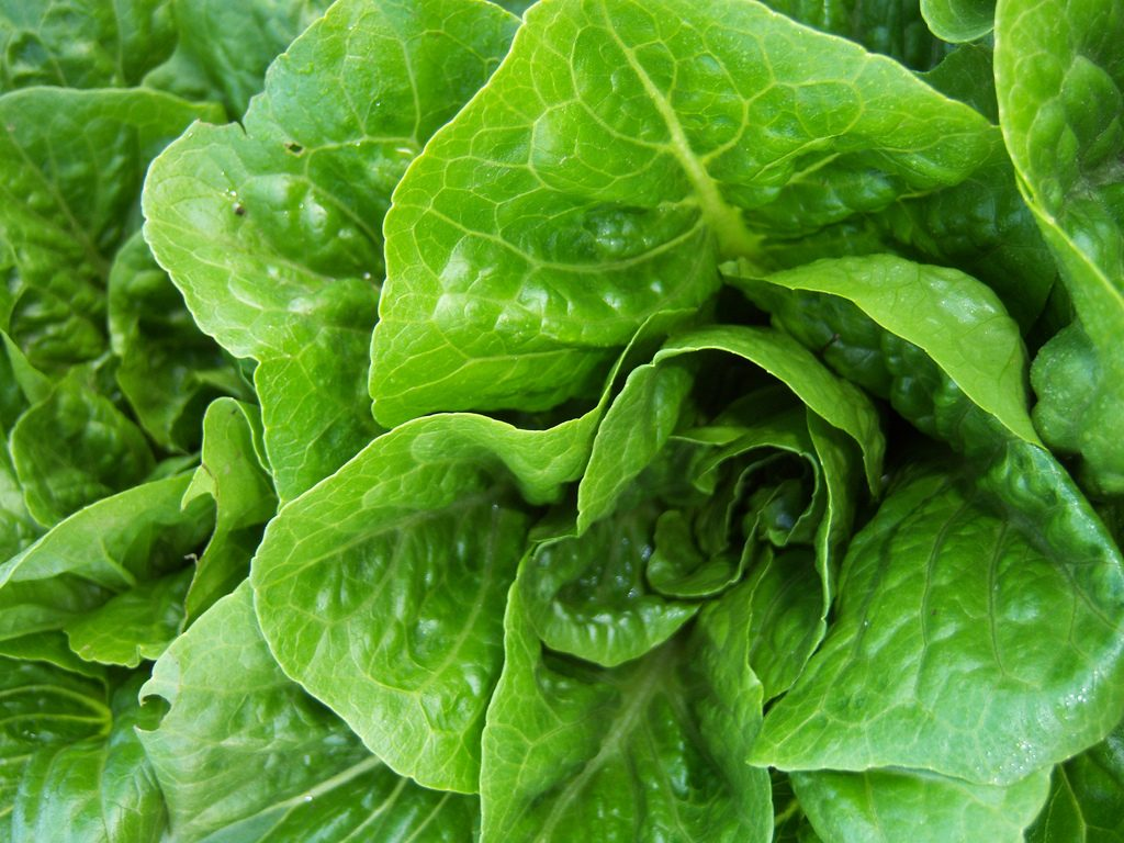Opinion: Romaine crisis creates anxiety for local farmers, but false claims about food safety hurt the industry