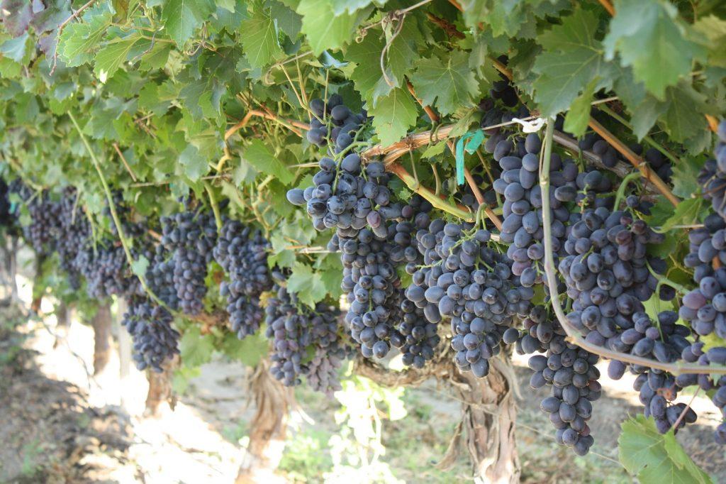 U.S.: California grape season