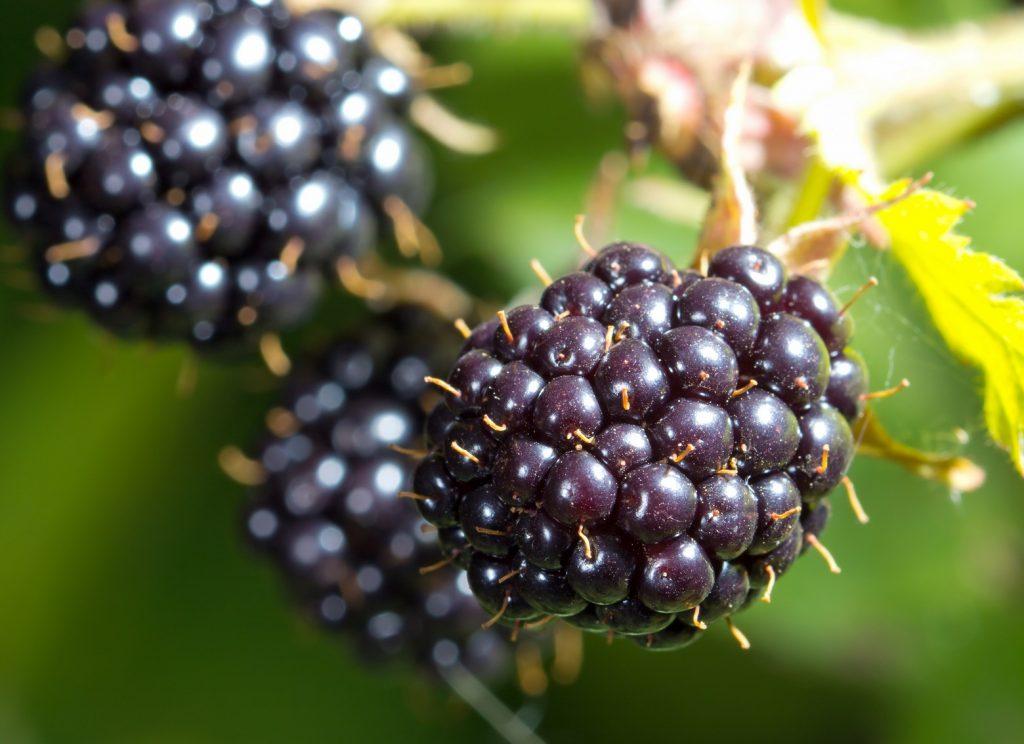 Blackberries in Charts: Will Mexico turn around its diminishing returns?