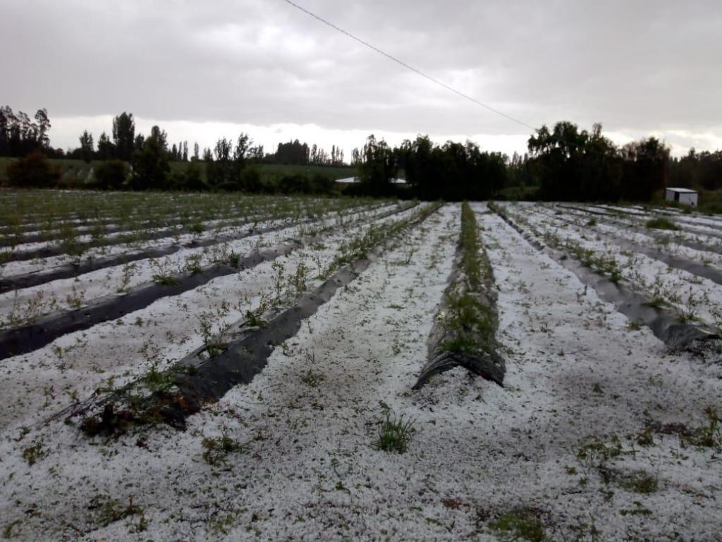 Chilean fruit associations release hail damage estimates