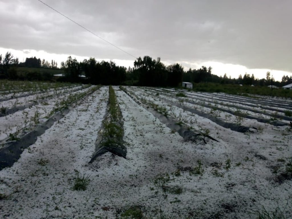 """Chile: """"Considerable damage"""" to cherries, blueberries from major hailstorm"""