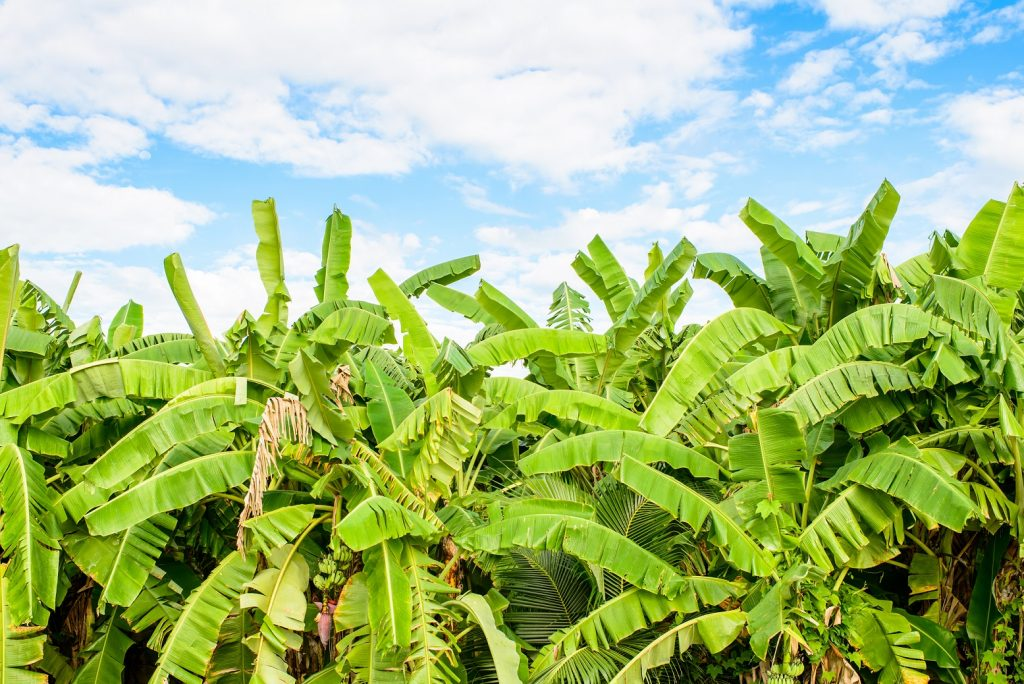 FAO launches emergency project to combat banana disease TR4