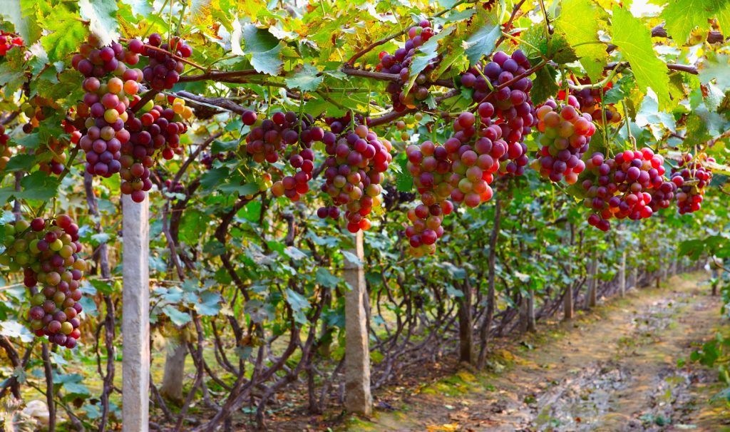 European grape market may see oversupply resolution due to Suez Canal blockage