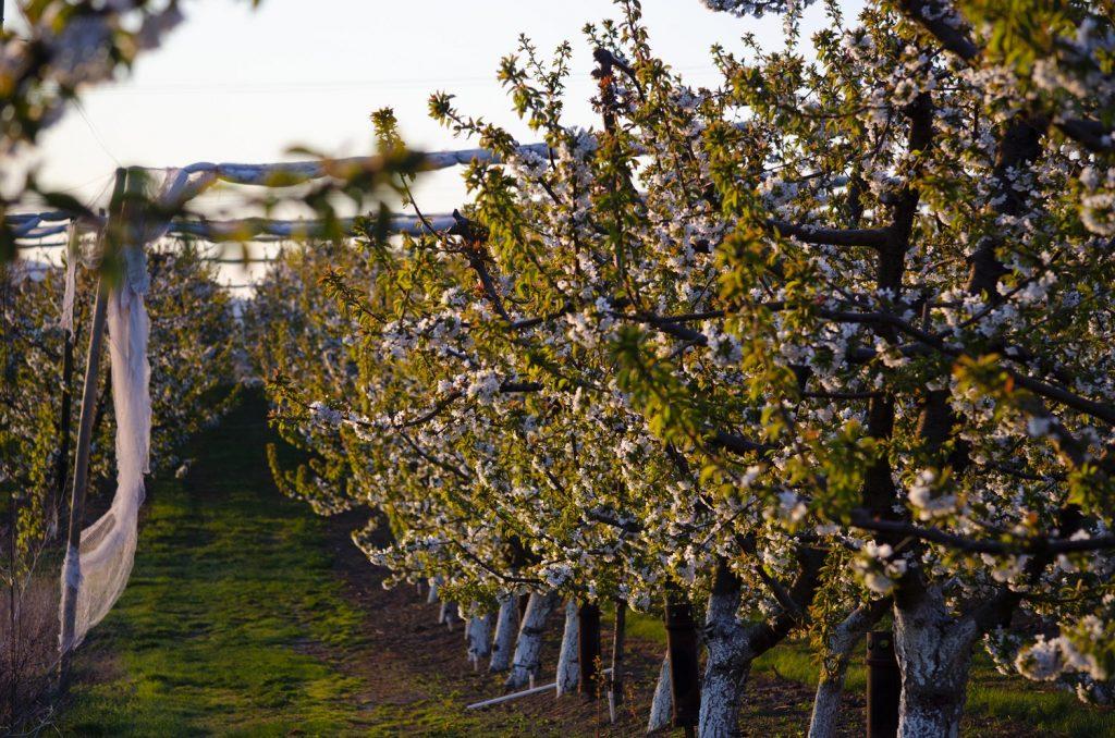 Washington cherries from Rainier Fruit - The taste of summer from the premium supplier