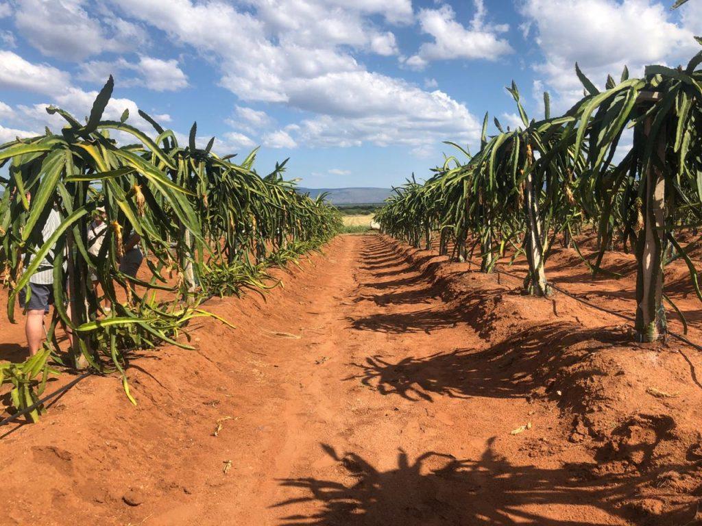Pioneering South African dragon fruit venture builds momentum