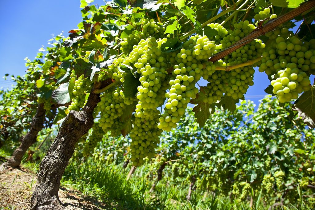 New table grape varieties lifting sales and boosting category in South African market, says Freshmark