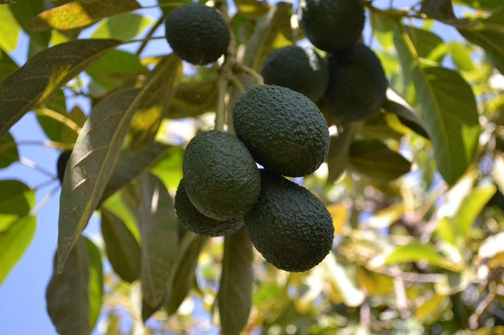 Australia expects bumper avocado crop, plans export growth