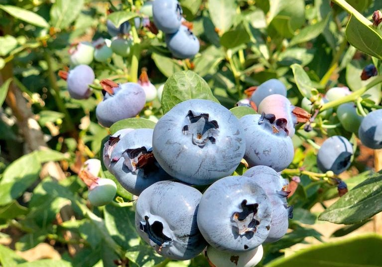 Peru: On the way to becoming the world's largest fresh blueberry exporter