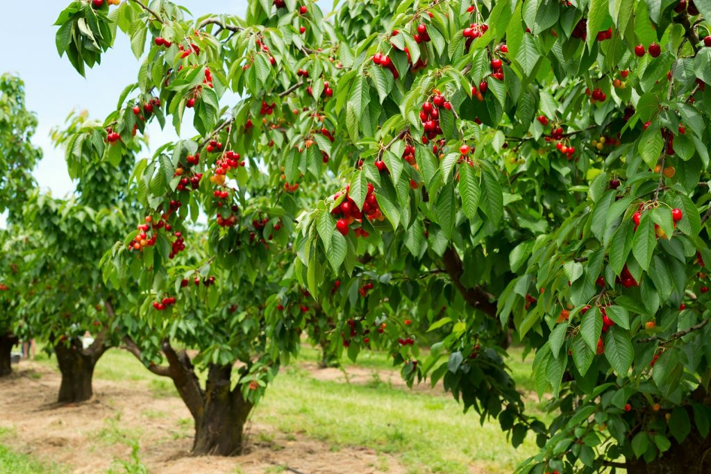 Chilean cherry exports to rise 15% to over 200,000MT, forecasts USDA